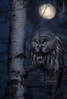 #noc #owl