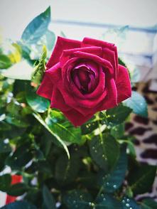 #roza#roza#kwiat#