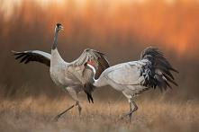 Żuraw - Crane (Grus grus) 10.01.2021 Łódzkie