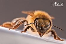 Jad pszczeli w kosmetologii