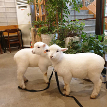 korean sheep cafe