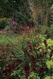 1. 'Paul' salvia (Salvia sp...
