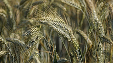 Jakie są rodzaje zbóż? Jak ...