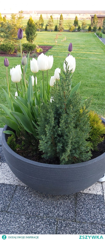 #ogrod #tulipany