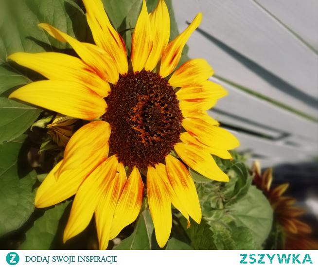 Słonecznik ozdobny#lato#kwiaty
