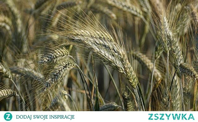 Jakie są rodzaje zbóż? Jak je od siebie odróżnić? Kliknij w obrazek i poznaj je wszystkie.