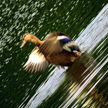 #kaczki#woda#