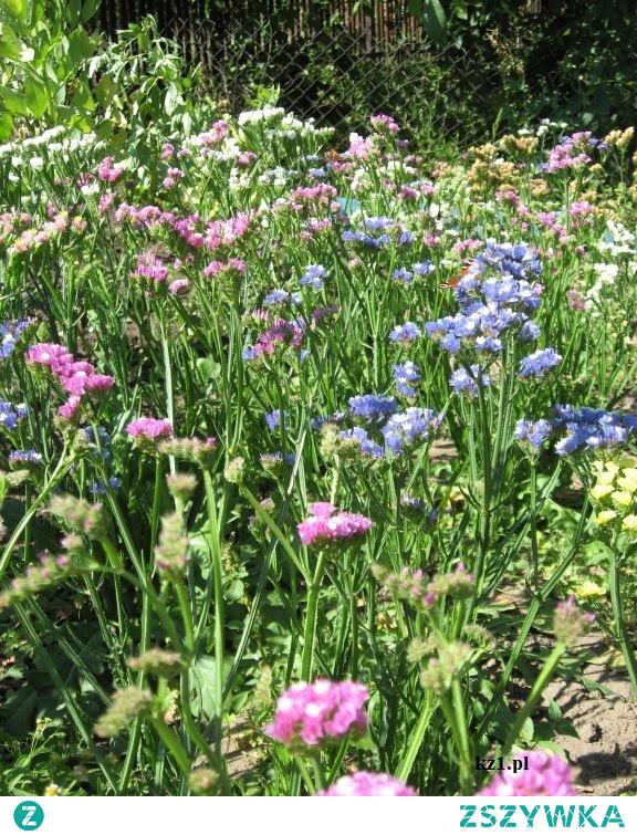 Zatrwian - kwiaty, które pięknie wyglądają nawet po uschnięciu.