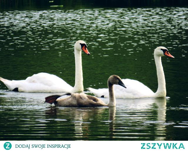 #łabędzie#rodzinka#biel#