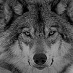 Okładka Wilki