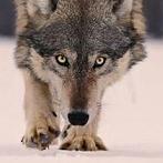 Okładka wolf