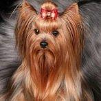 Okładka Psiaki Yorkshire Terrier :)