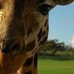 Okładka Żyrafy <3