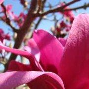 magnolia123