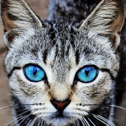 blue_eyes_cat