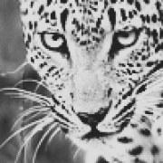 CheetahGirl