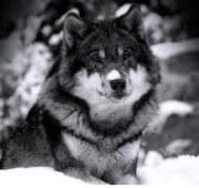 Littywolf