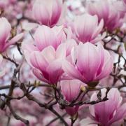 magnolia112