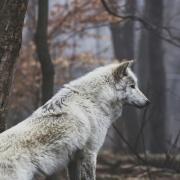werewolf_24
